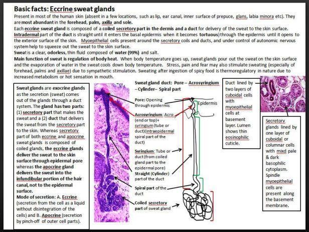 eccrine sweat gland basic facts dr sarma s dermpath other