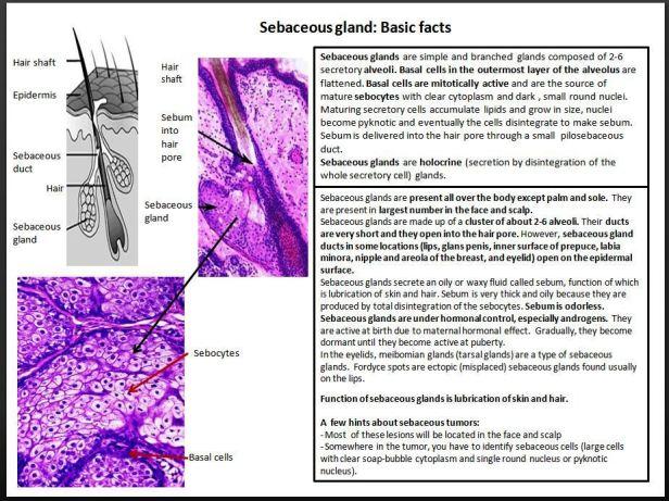 Quick dx. Sebaceous gland. Basic facts